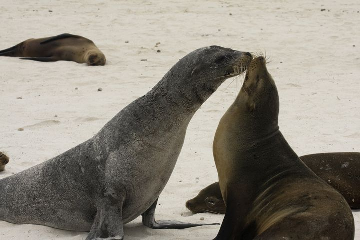 Galapagos Sea Lions Touching faces - Sally Weigand Images