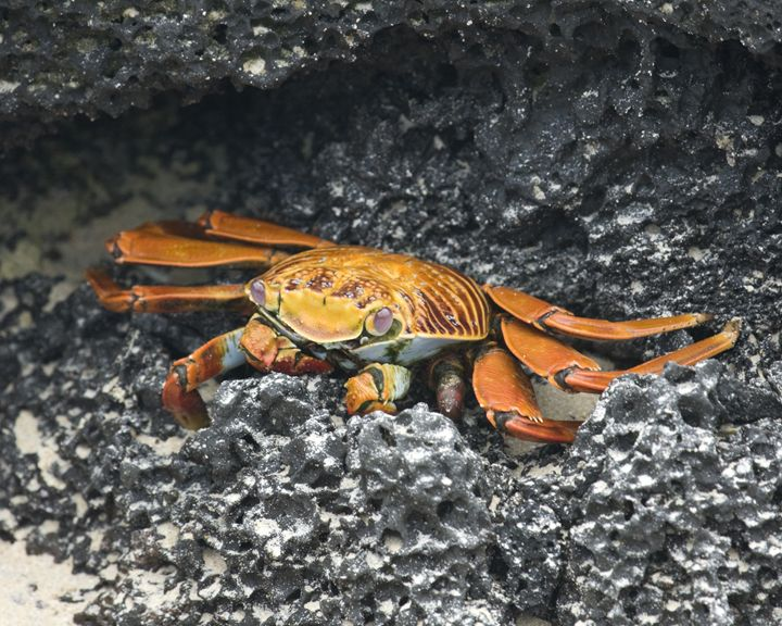 Sally Lightfoot Crab - Sally Weigand Images