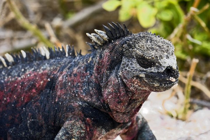 Galapagos Marine Iguana - Sally Weigand Images