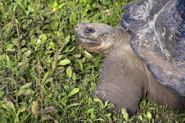 Galapagos Tortoise - Sally Weigand Images