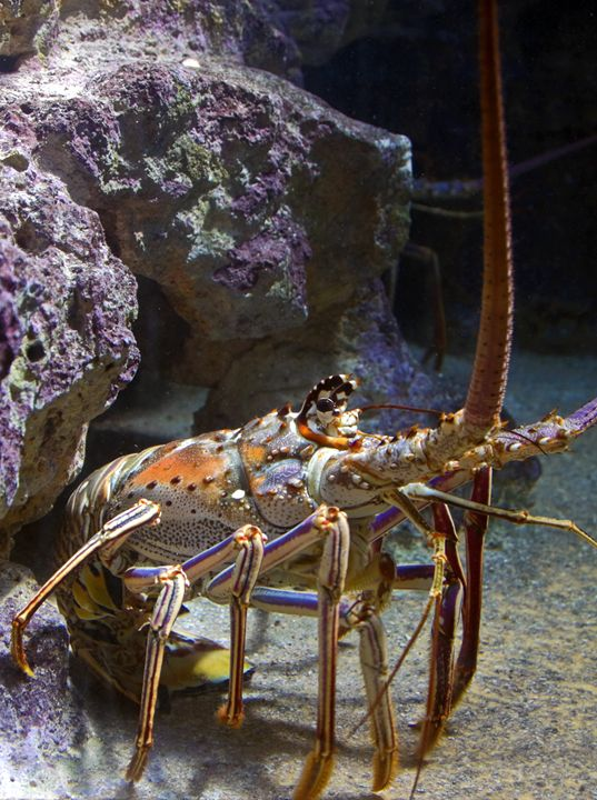 Caribbean Spiny Lobster - Sally Weigand Images