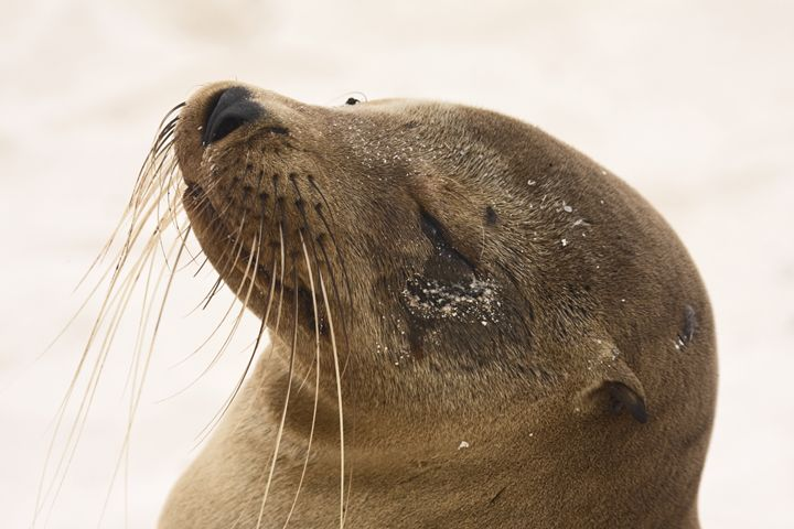Galapagos Sea Lion Portrait - Sally Weigand Images