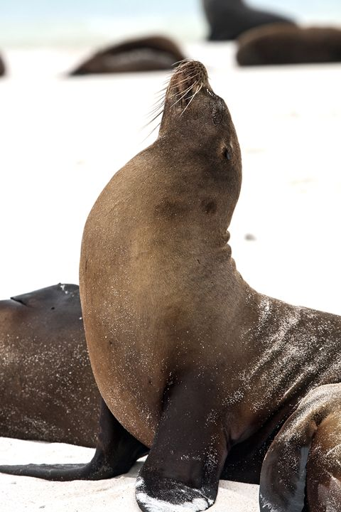 Galapagos Sea Lion Stretching - Sally Weigand Images