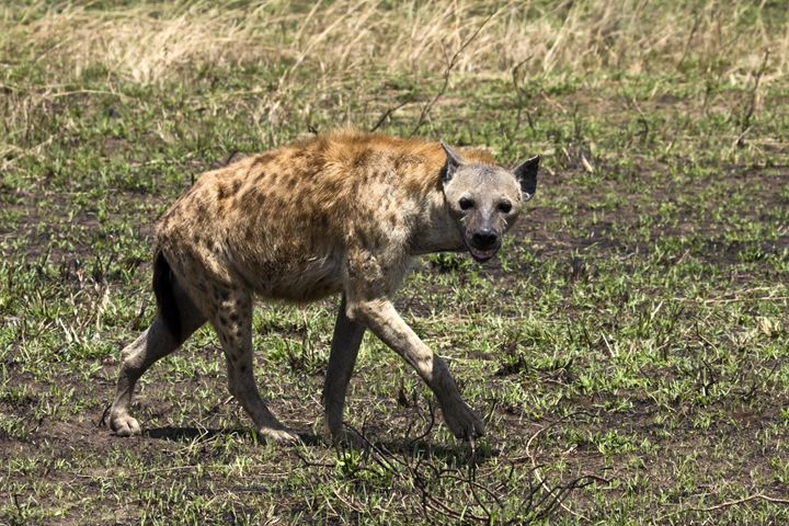 Spotted Hyena Walking - Sally Weigand Images