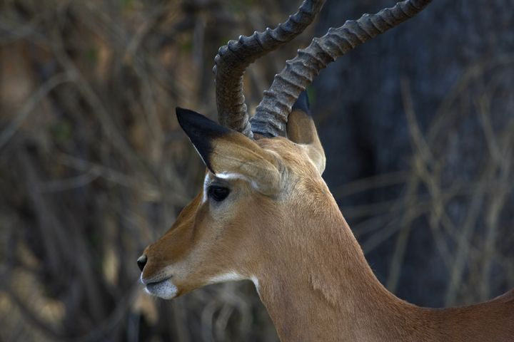 Impala Close-up - Sally Weigand Images