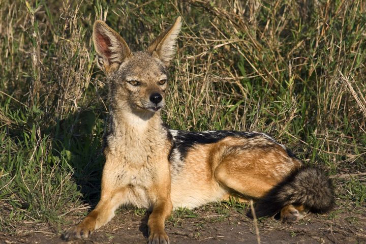 Jackal Portrait - Sally Weigand Images