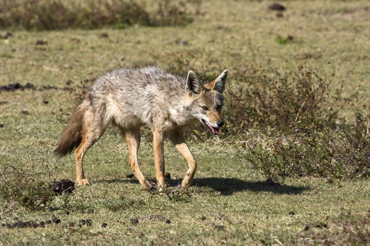 Jackal Walking - Sally Weigand Images