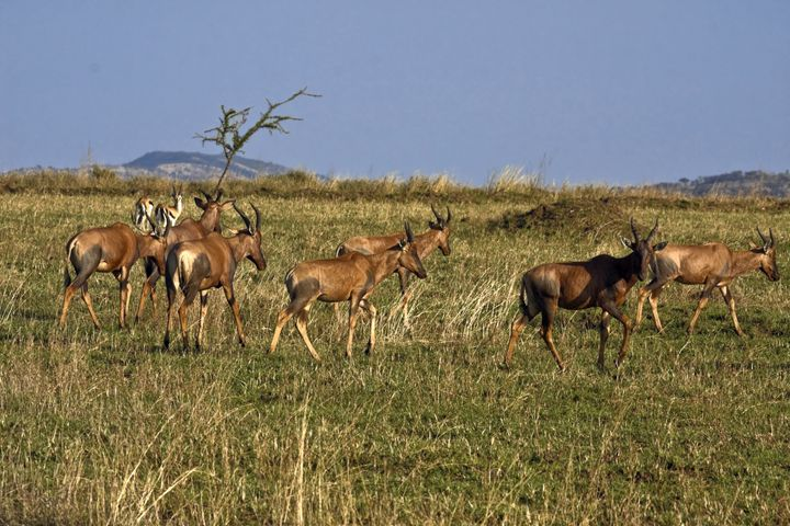 Topi Herd Scene - Sally Weigand Images