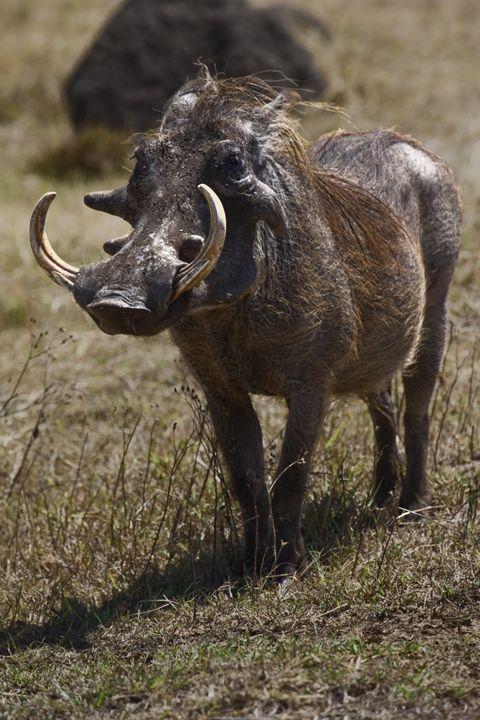 Warthog Portrait - Sally Weigand Images