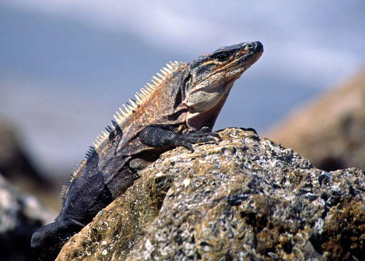 Iguana - Sally Weigand Images