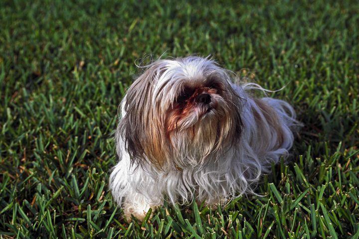 Shitzu Dog - Sally Weigand Images