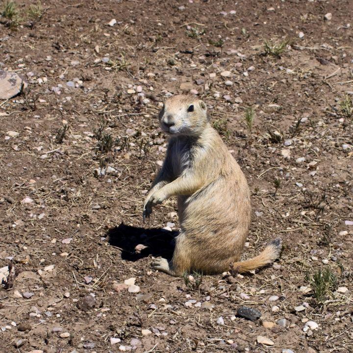 Prairie Dog - Sally Weigand Images