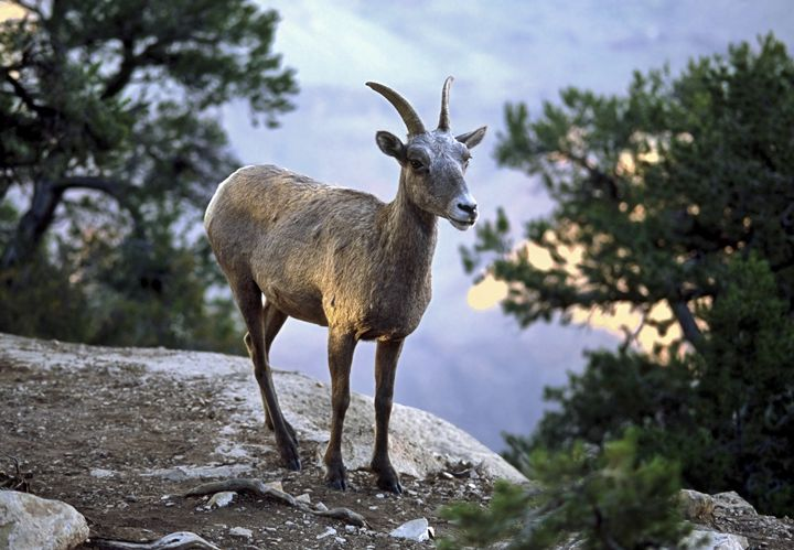 Bighorn Mountain Sheep at Dusk - Sally Weigand Images