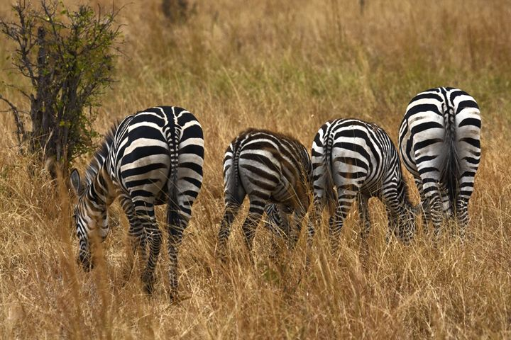 Rear View Zebras - Sally Weigand Images