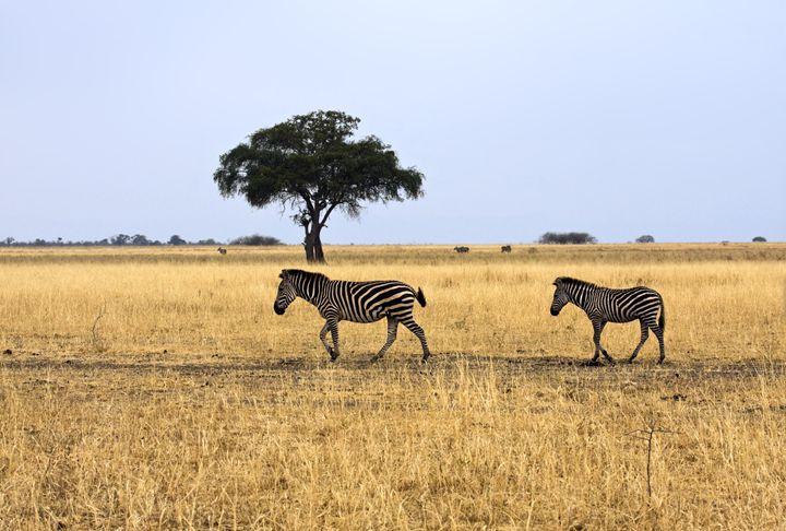 Zebras Walking Scene - Sally Weigand Images