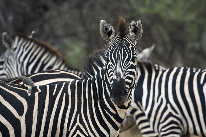 Zebra Portrait - Sally Weigand Images