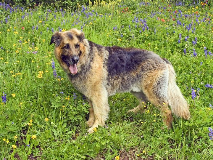 Dog Among Wildflowers - Sally Weigand Images