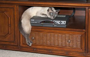 Tonkinese Cat Lounging