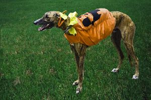 Costumed Greyhound - Sally Weigand Images