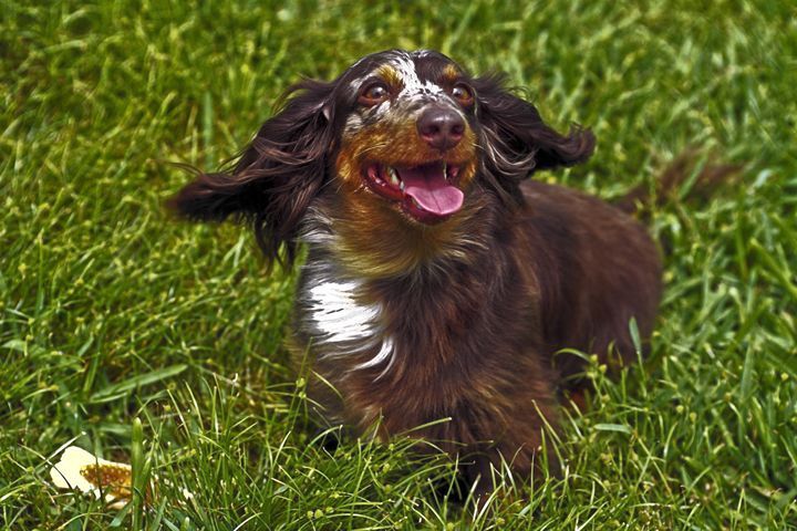 Dachshund - Sally Weigand Images