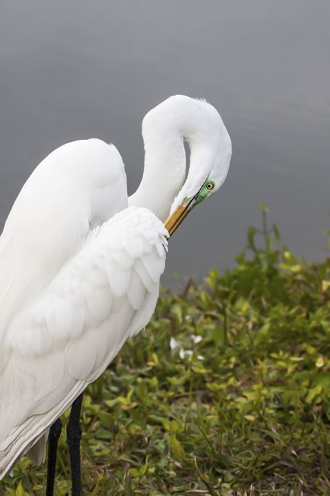 Great Egret Preening - Sally Weigand Images