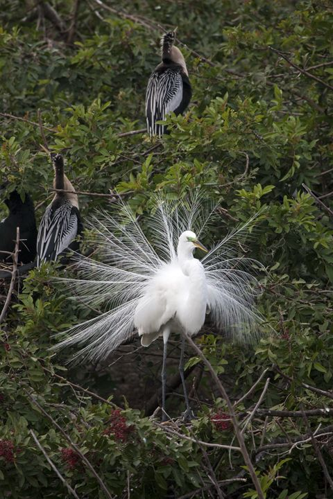 Great Egret in Breeding Plumage - Sally Weigand Images