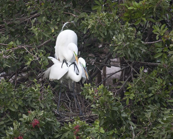 Two Great Egrets Breeding Ritual - Sally Weigand Images