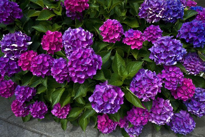 Hydrangea Blossoms - Sally Weigand Images