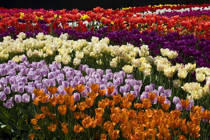 Tulips Everywhere - Sally Weigand Images