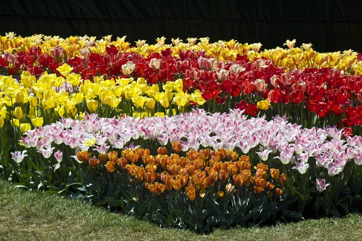 Tulip Bed - Sally Weigand Images