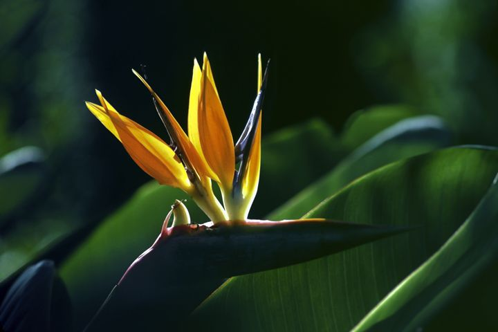 Bird of Paradise - Sally Weigand Images
