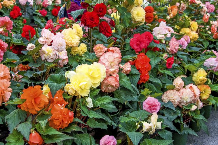 Colorful Begonias - Sally Weigand Images