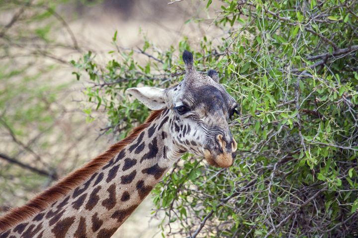 Giraffe Head Portrait - Sally Weigand Images