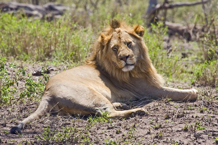 African Lion Portrait - Sally Weigand Images