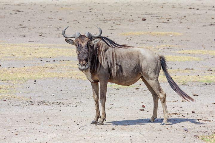 Wildebeest Standing - Sally Weigand Images