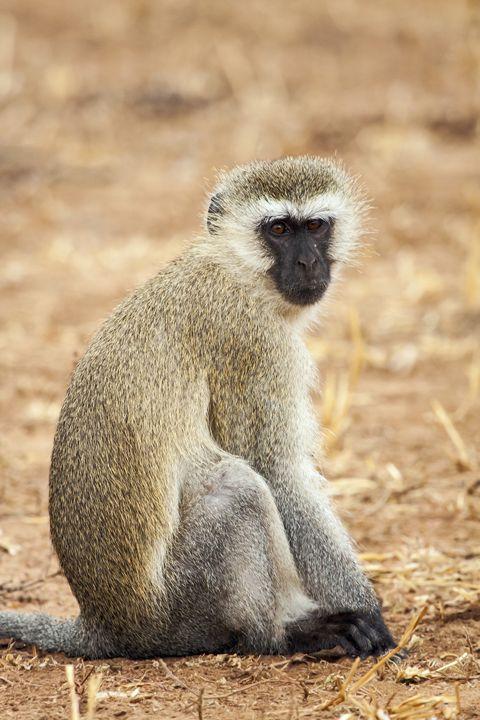 Vervet Monkey Portrait - Sally Weigand Images