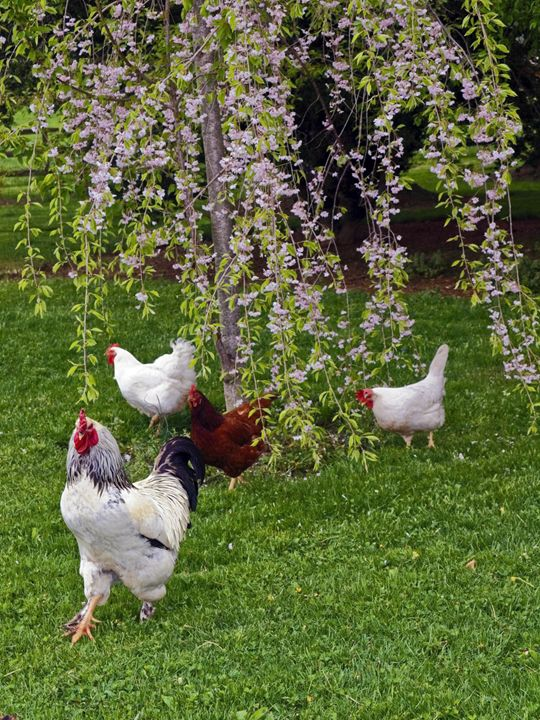 Rooster and Harem - Sally Weigand Images