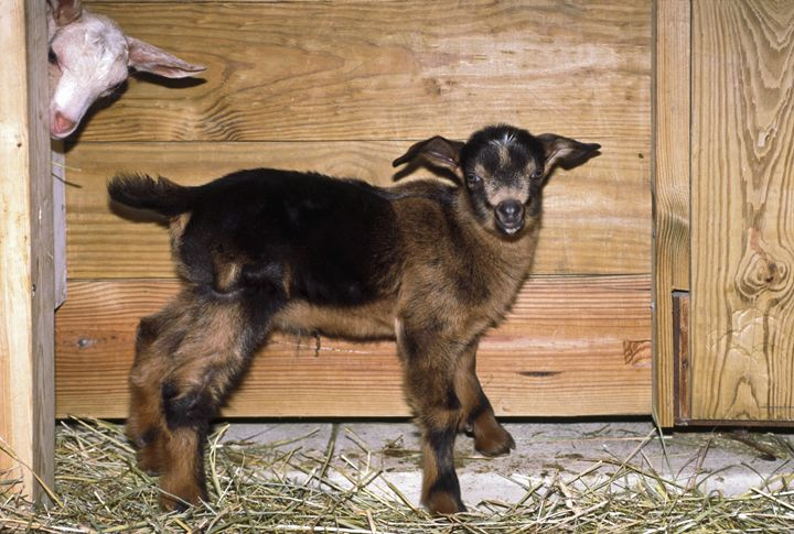 Baby Goats - Sally Weigand Images