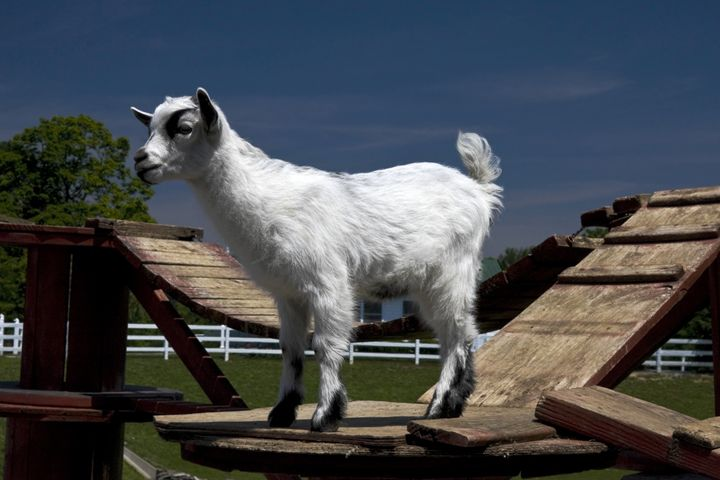 Pygmy Goat - Sally Weigand Images