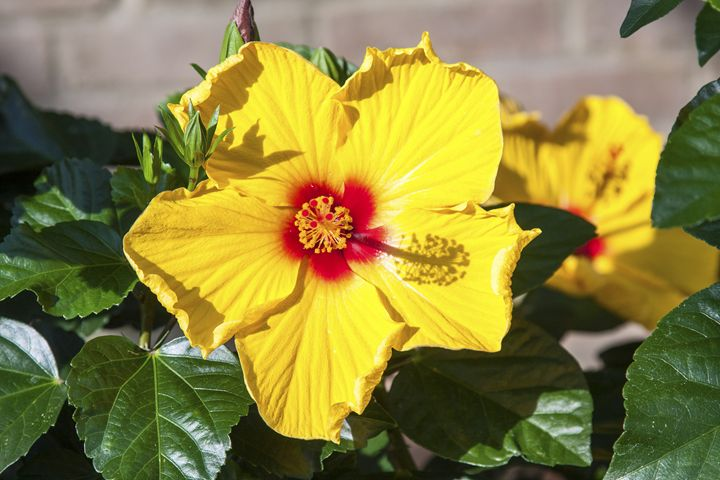 Yellow Hibiscus - Sally Weigand Images