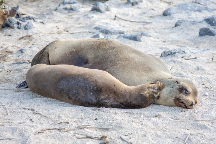 Galapagos Sea Lions on the Beach - Sally Weigand Images