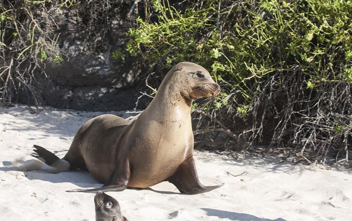 Galapagos Sea Lion Walking - Sally Weigand Images
