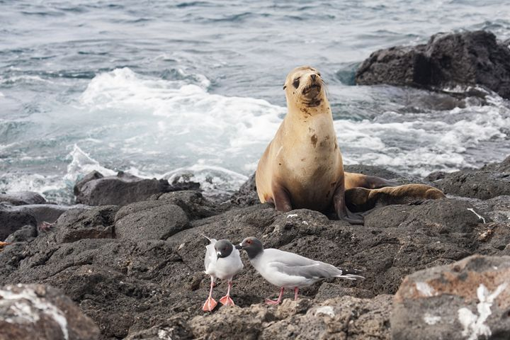 Galapagos Sea Lion on Lava Shore - Sally Weigand Images
