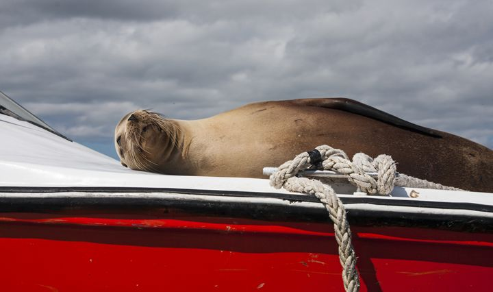 Galapagos Sea Lion Asleep on Boat - Sally Weigand Images