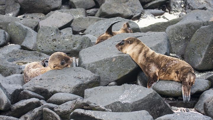 Young Galapagos Sea Lions - Sally Weigand Images