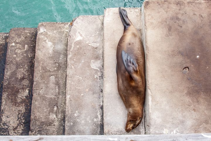 Sea Lion on Steps - Sally Weigand Images