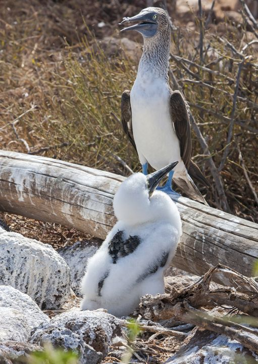 Blue-footed Boobies Chick and Mother - Sally Weigand Images