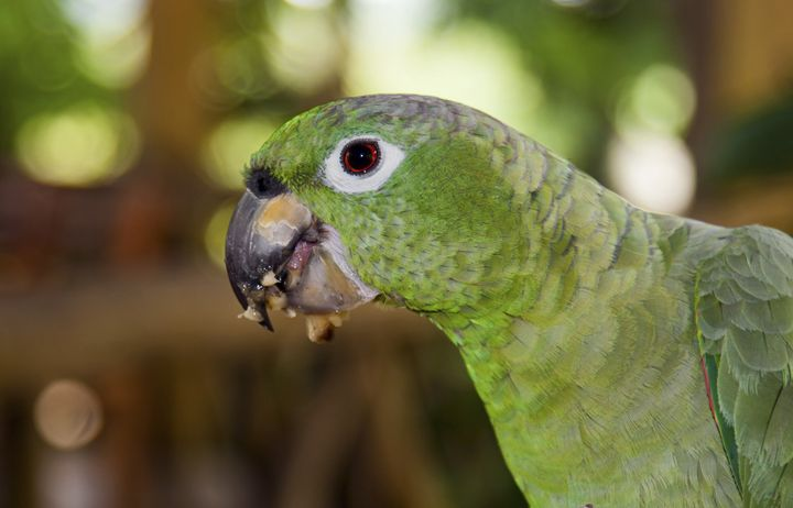 Green Parrot Portrait - Sally Weigand Images