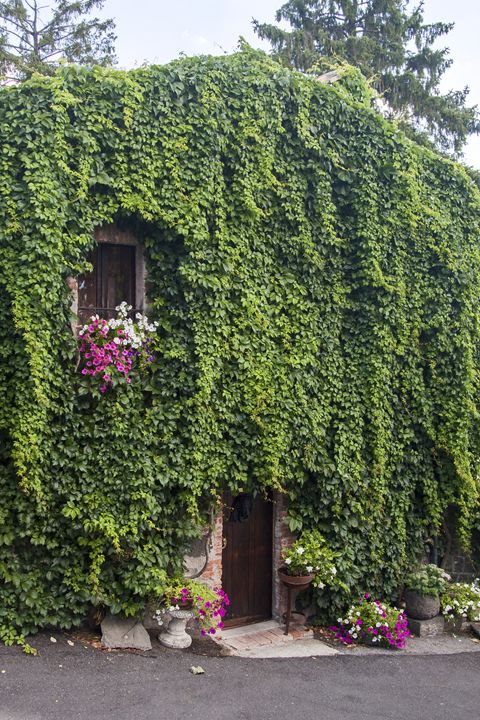 Ivy Covered House - Sally Weigand Images