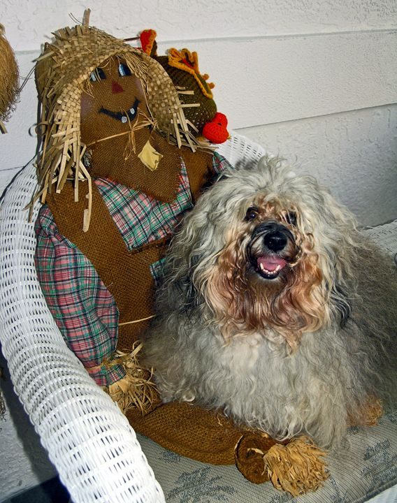 Havanese dog with scarecrow - Sally Weigand Images